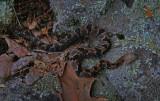 Baby Timber Rattlesnake