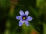 purple wildflower.jpg