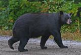 Bear crossing the road.jpg