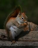 Red Squirrel50702.jpg