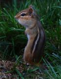 Chipmunk4.jpg