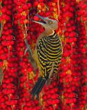 DR-Woodpecker.jpg