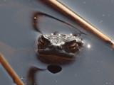 Amfibier - Amphibians