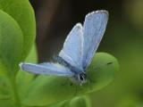 Tosteblåvinge (hane) - Celastrina argiolus - Holly Blue (male)
