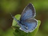Tosteblåvinge (hona) - Celastrina argiolus - Holly Blue (female)
