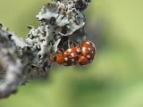 14-fläckig nyckelpiga - Calvia quattuordecimpunctata - 14-spot ladybird