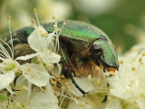 Gräsgrön guldbagge - Cetonia aurata - Rose Chafer