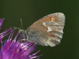 Starrgräsfjäril - Coenonympha tullia - Large Heath
