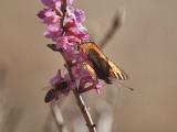 Biet får sitta i skuggan av nässelfjärilen när de suger nektar från tibasten.  The Bee i sitting in the shadow of the Small Tortioseshell.