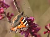 Nektarn från tibasten smakar bra efter en lång vinter.  The nectar from the mezereon tastes good after a long winter.