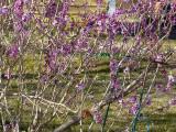 Nässelfjärilen var första fjärilen i trädgården, som vanligt. I år är de ovanligt talrika, och tibasten är mest populär.  The Small Tortoiseshells were the first butterflies to appear in the garden. They are more numerous then usual this year and the mezereon is the most poöular.