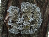 Gulkantad dagglav - Physconia enteroxantha - Bordered Frost