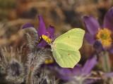 Citronfjärilen kan sitta på blommans kant och suga nektar. The Brimstone can reach the nectar från the rim of the flower.
