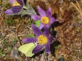 Citronfjäril och grönsnabbvinge i var sin backsippa A Brimstone and a Green hairstreak in Pasqueflowers.