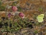 Fjärilen flyger in mot en mosippa.  The butterfly flies towards a pulsatilla vernlis flower.