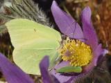 Här samsas fjärilarna i samma blomma  Two species of butterfly in one flower.