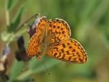 Denna art flyger tidigast av pärlemorfjärilarna i Närke  This species is the earliest fritillary in our area.