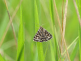I blandningen med grått fjolårsgräs och nytt grönt på trädan utanför vår tomt dök denna vackra fjäril upp  This beautiful moth appeared among old and new grass on a fallow field