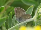 Mindre blåvinge - Cupido minimus - Small Blue