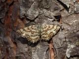 Den vanligaste fjärilen i Tripphult under maj och början av juni.   The most common moth in Tripphult during May and the first half of June