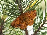 Det såg ut som en pärlemorfjäril när den kom flygande, men vid närmare betraktande var det en mätare  Looked like a Mother of Pearl, when it arrived, but at close range it was a geometer moth.