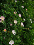 Dog  rose  blooms  adorn  the  hedgerows.