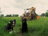 Lady  and  Max, beside  a  DavidBrown  996  tractor