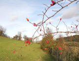 Red  berries  in  the  hedgerow.