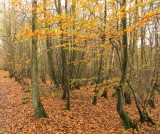 Autumn  colours  in  Lie  Wood.