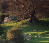 Sheep  and  lambs  amid  the  ruins  of  Stutfall  Castle.