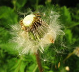 Dandelion  seeds , leaving  the  fold, as  it  were.