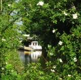 Boat  moored , seen  through  a  dog  rose  bush.