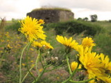 Dandelions  infront  of  a  WW2  Pillbox.