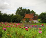 A  country  cottage, ,fronted  by  a  sea  of  papaver.