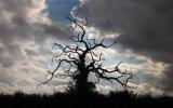 Dead  tree  in  silhouette.