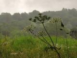 Giant  hogweed  in  the  rain.