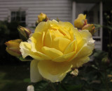 A  beautiful  yellow  rose ; in  passing.