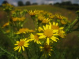 Ragwort ; the  field  behind  was  awash  with  ragwort.