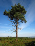 A  lonesome  pine, but  it  could  be  a  fir  tree.