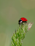 Coccinellidae_3737