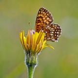 Der Kaisermantel (argynnis paphia)_5565.jpg