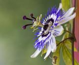 Passion Flower - Passionsblume _6799.jpg