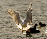 Seagull_2743 .jpg