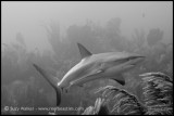 Reef shark b/w