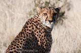 Cheetah Mamma