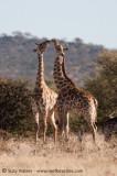 Giraffe Greeting
