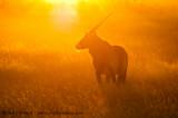 Sunset Oryx