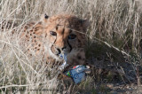 Naughty Cheetah!