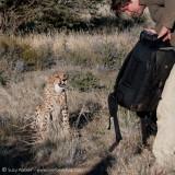 Naughty Cheetah ate his camera bag
