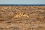 Lion play flight